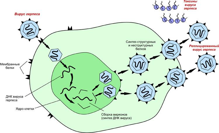 Как вирусы размножаются?
